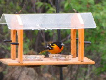 First Oriole