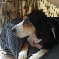 Tilda - Health Update - Canine Primary Parathyroid Hyperplasia
