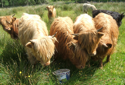 Year old Highland Calves