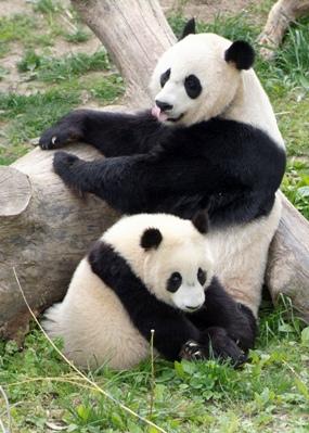 giant_pandas_0