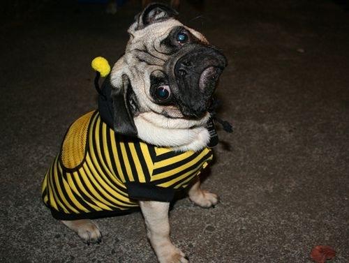 bee-pug