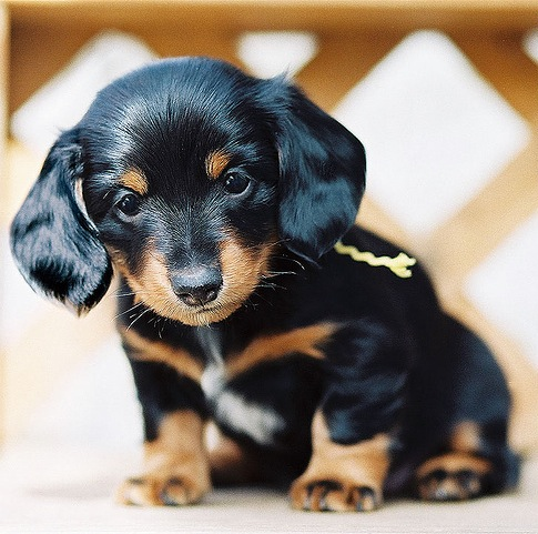 dachsund puppy