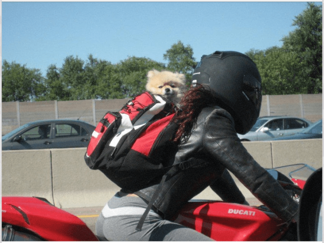 Dog In Backpack For Motorcycle Helmets For Dogs Post