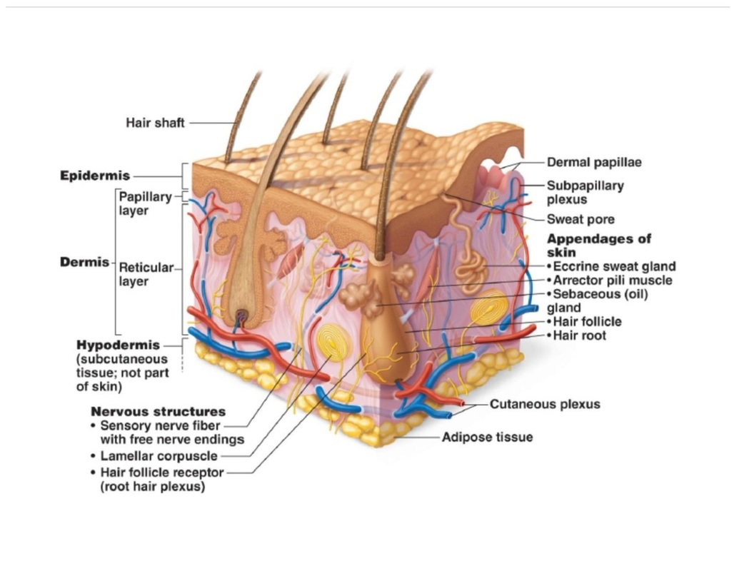 integumentary system diagram labeled suburban rv furnace wiring unit 4 badger anatomy physiology skin practice class notes