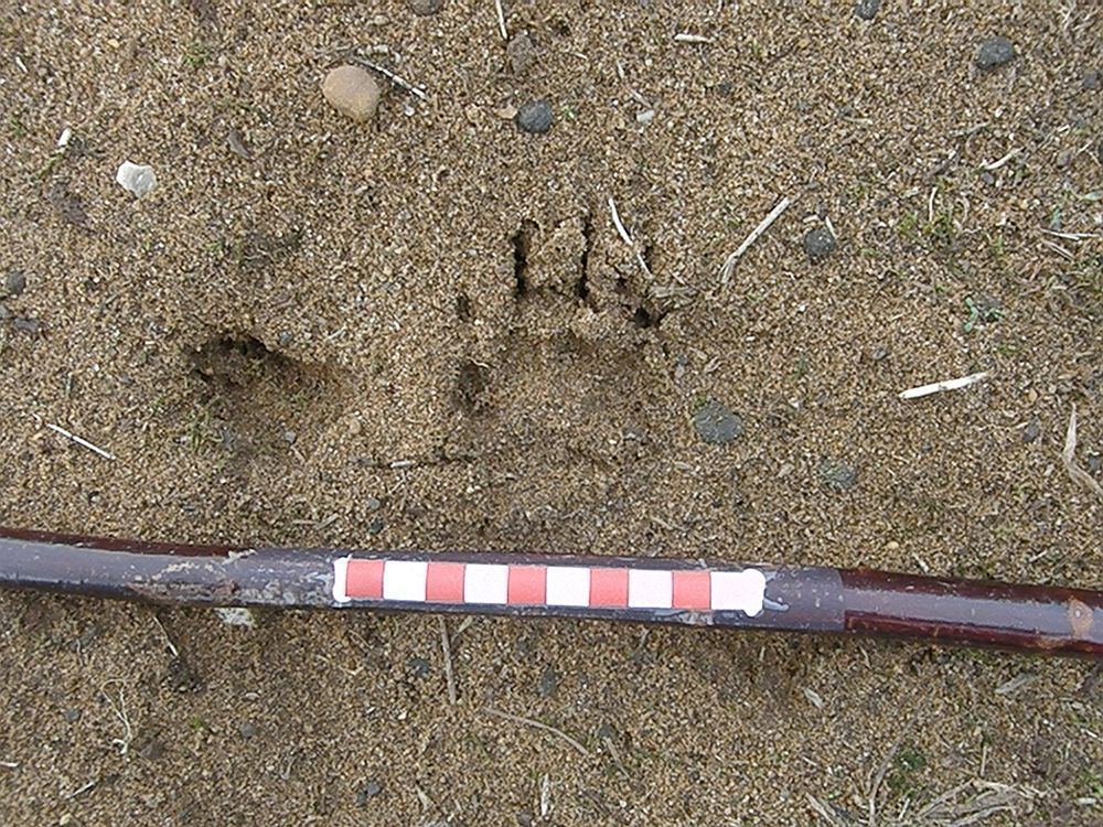 I'd swear this is the forefoot of a badger - look at the claws - but from the freshness it was made this afternoon