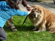 A chow reluctantly receives a blessing.