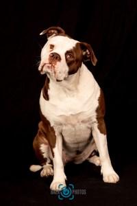 Tier-Baer.Photos-Fotograf-Holger-Bär-Hund-British-Bulldog
