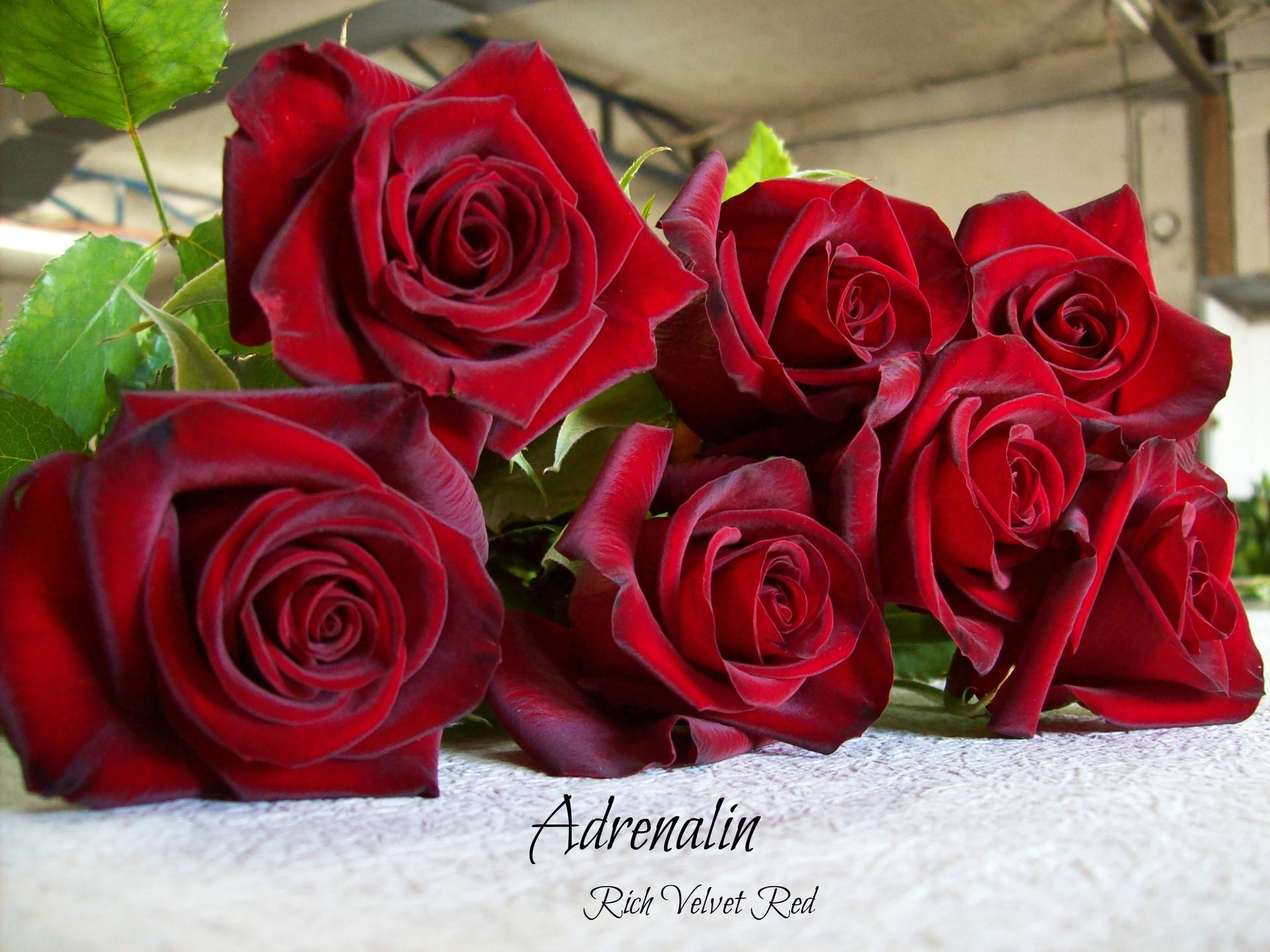 Rose Varieties  Bagala Bros Australia