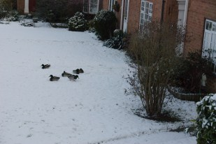 Ducks in the snow