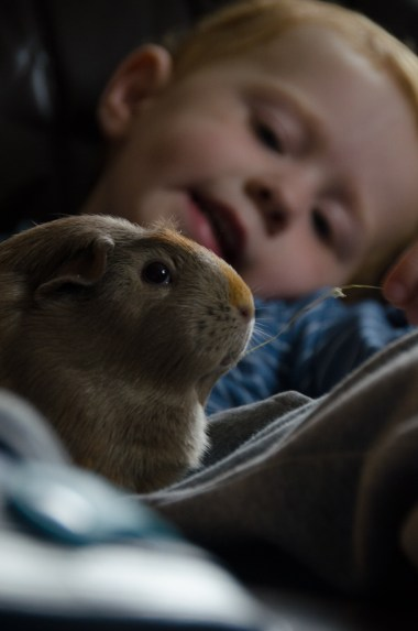 A boy and his Guinea Pig