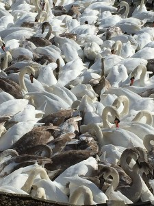 How many swans?