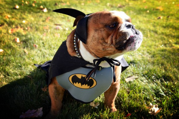 3-buddha-bullodog-batman-dog-costume-585x390