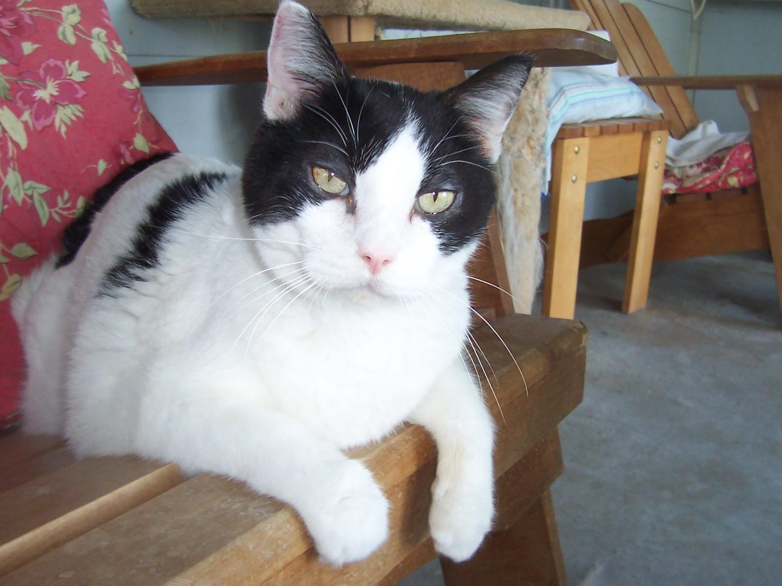 Diabetic Cat Jace