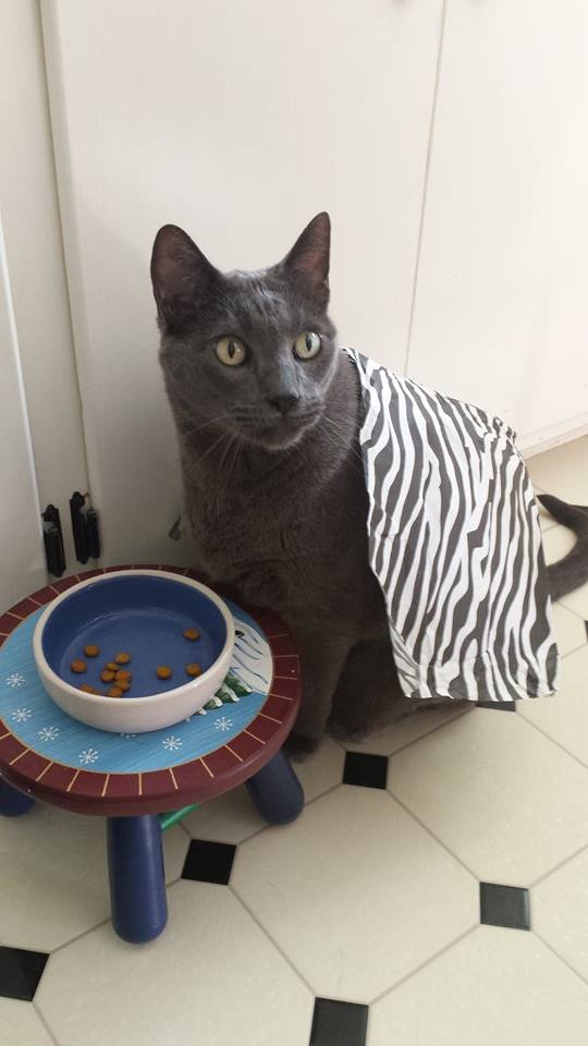 Dexter the Therapy Cat With His Noms Stool