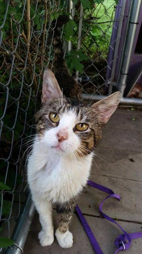 Diabetic Cat Sam Needs a Home