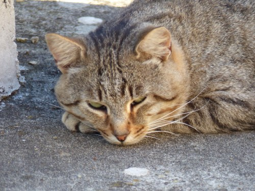 Calomini cat