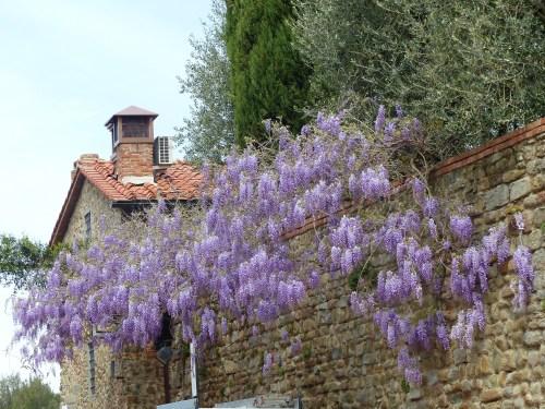Vinci wisteria
