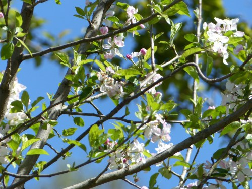 Blossoms at Casa Debbio