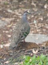 Bronze wing pigeon WA