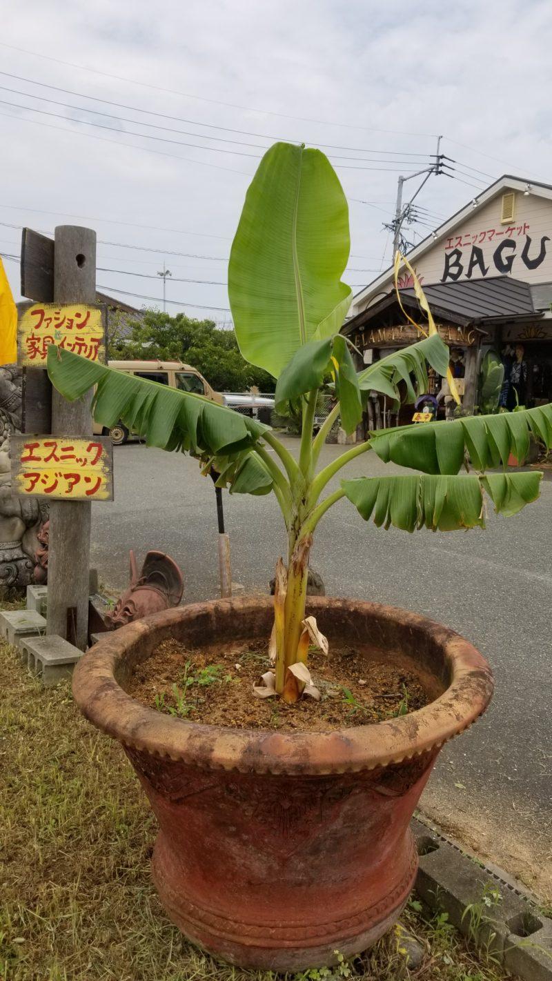 8月アイスクリームバナナ子株