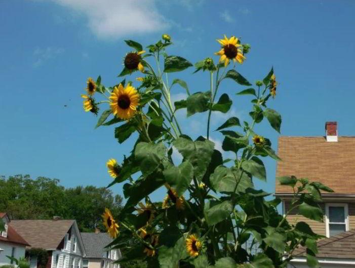 tiny sunflower plant