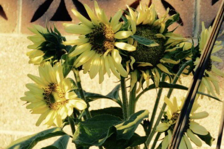 sunflower varieties list
