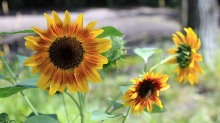 varieties of sunflower in the philippines