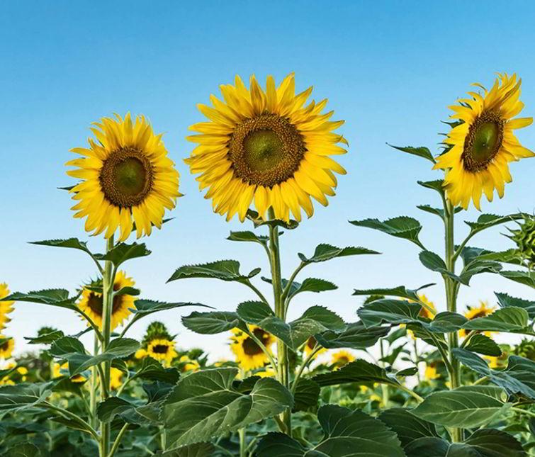 small sunflower like plant
