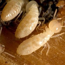 Gunakan obat anti rayap ampuh untuk atasi serangan serangga ini.
