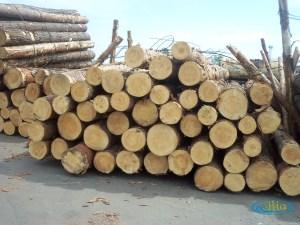 Banyak faktor di balik pentingnya pengawetan kayu pinus.