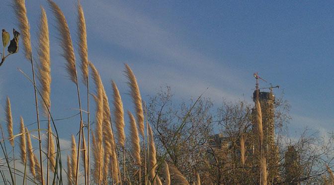 Cortaderas en la reserva ecológica de Buenos Aires