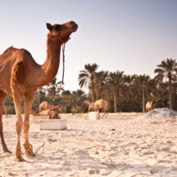camel farm 08