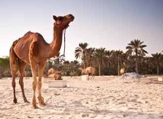 The Camel Farm