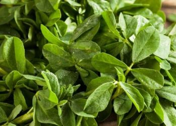 kasuri-methi-uses-in-different-dishes-for-teste-many-benefits-of-health