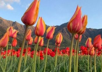 tulip-garden-opens-in-jammu-kashmir-more-than-64-types-15-lakh-tulip-flowers-waiting-for-you-see-photos