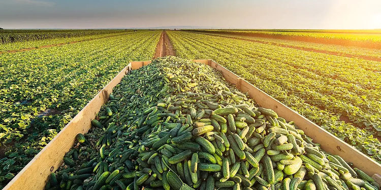 cucumber-farming start cucumber farming just in 1 lakh rupees investment and earn rs 8 lakh per month know how
