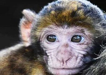 Monkey B Virus veterinarian dies due to monkey b virus in humans 70 to 80 people out of 100 can die if infected
