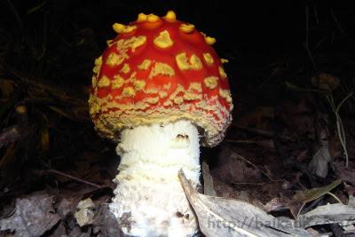 Arrogant mushroom
