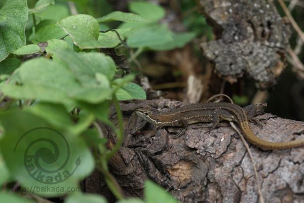 カナヘビとヤモリの日々