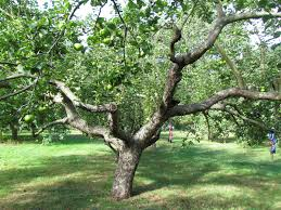 Apple Tree Pruning: drop-in information day @ Brackenhall Countryside Centre