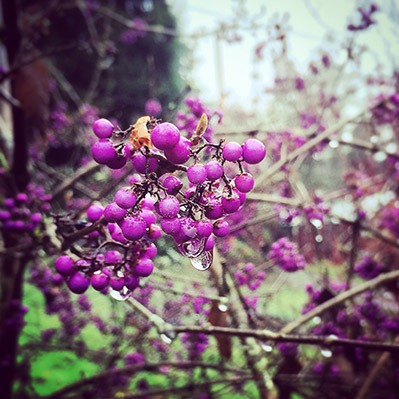 purple shrub berries