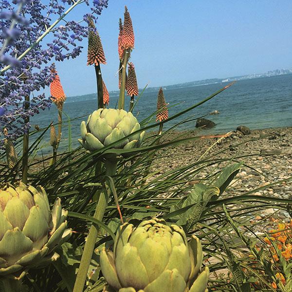 Edible landscaping, artichokes