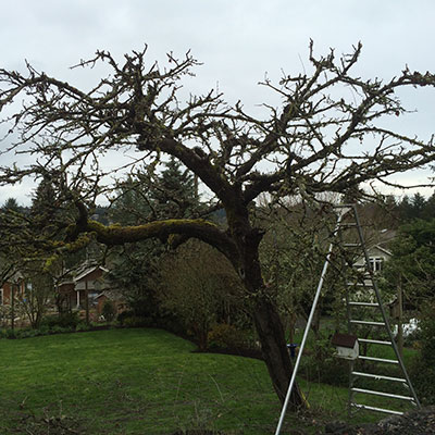 Fruit tree pruning