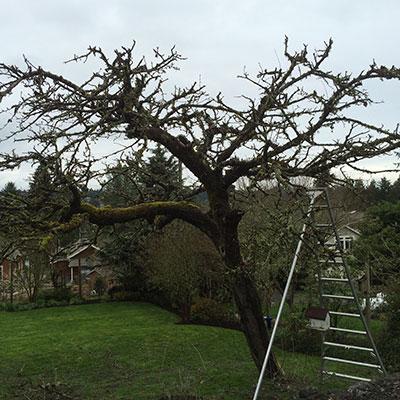Fruit tree pruning