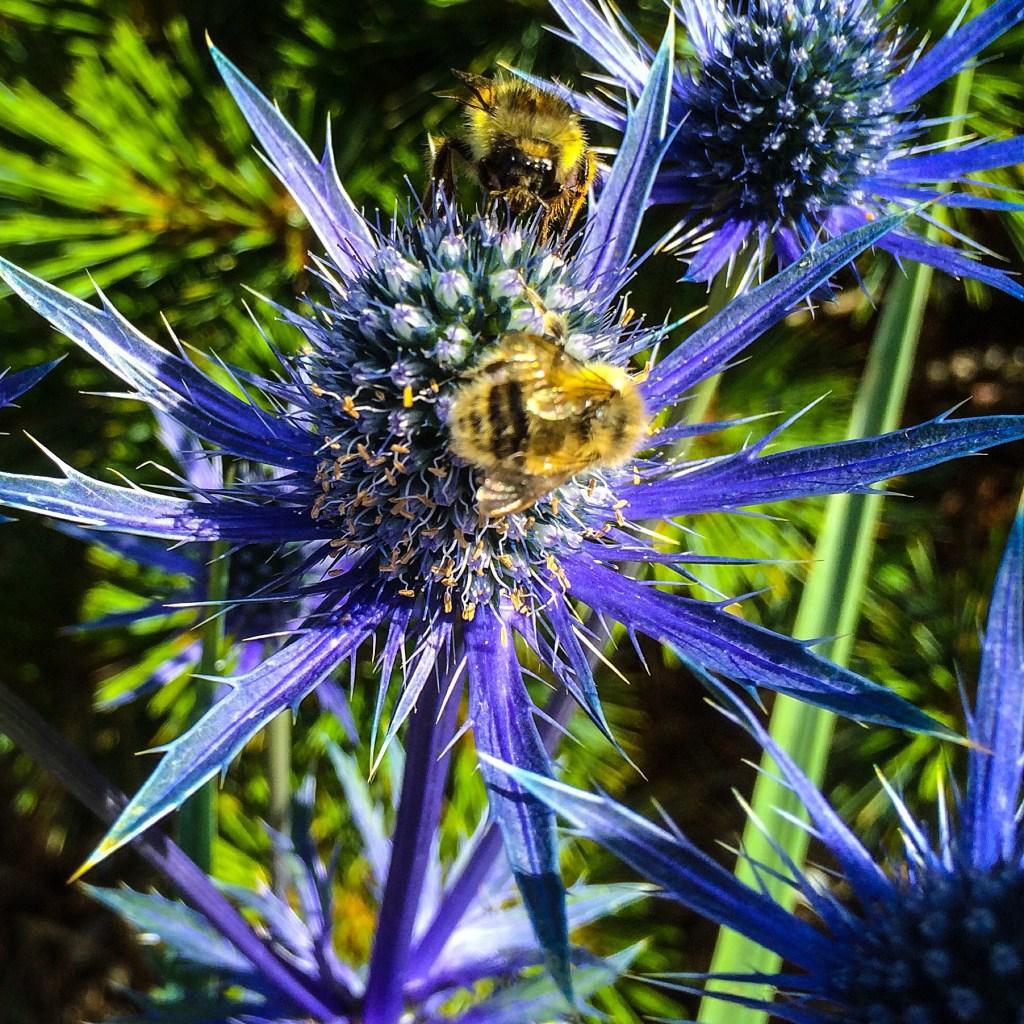 Honeybee on Eryngium
