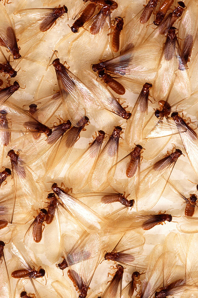 Termite Swarming Winged Termites can Signal Active