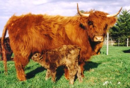 Bairnsley Highlands  What to expect when cows calve