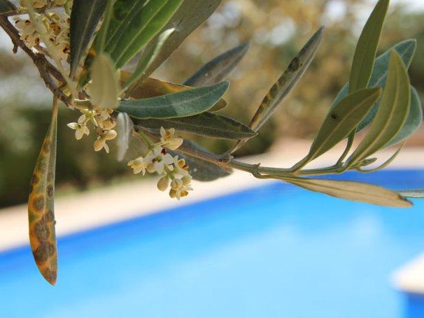 Oliven am Pool