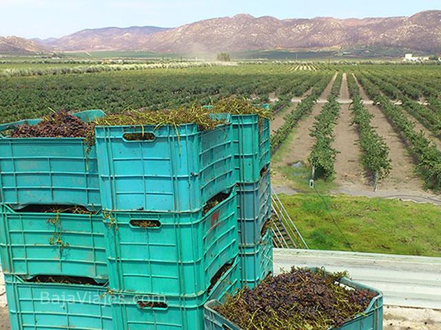 paralelo-vendimia-valle-guadalupe-ruta-vino-ensenada-tours