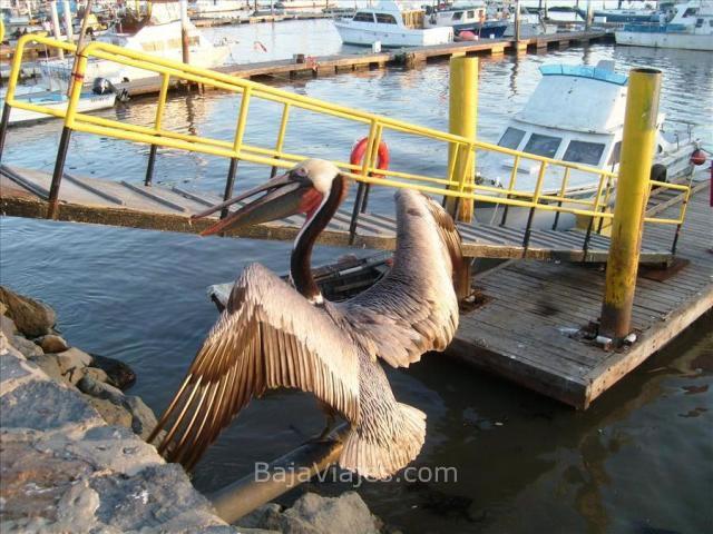 Pelícano en el Muelle de Pesca de Ensenada
